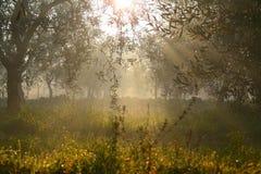 τοπίο αγροτικό Τομέας με το άλσος ελιών αναδρομικά φωτισμένο που τυλίγει mistItaly, Apulia Στοκ Φωτογραφίες