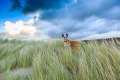 Τοπίο αμμόλοφων με το σκυλί Στοκ Φωτογραφίες
