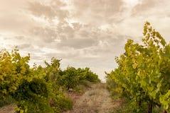 Τοπίο αμπελώνων με το σύστημα άρδευσης με τη σταλαγματιά του νερού, στο ηλιοβασίλεμα Κρασιά Raïmat Caberneet Sauvignon Merlot, sy στοκ εικόνα