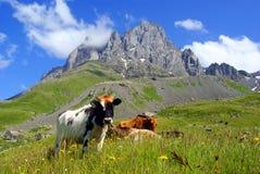 Τοπίο βουνών με τη βοσκή των αγελάδων Στοκ Φωτογραφίες