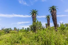 Τοπίο δέντρων αλόης αγριοτήτων στοκ φωτογραφία με δικαίωμα ελεύθερης χρήσης