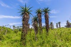 Τοπίο δέντρων αλόης αγριοτήτων στοκ εικόνες