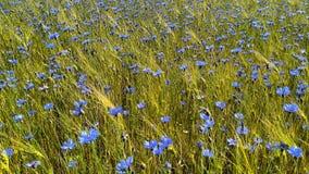 Τοπίο δημητριακών Cornflowers και σίτου Στοκ Εικόνες