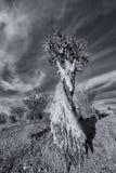 Τοπίο ενός δέντρου ρίγου με το μπλε ουρανό και των λεπτών σύννεφων σε ξηρό στοκ εικόνα με δικαίωμα ελεύθερης χρήσης