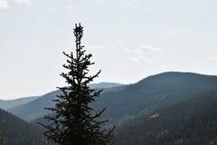 Τοπίο εστίασης δέντρων πεύκων Στοκ εικόνες με δικαίωμα ελεύθερης χρήσης