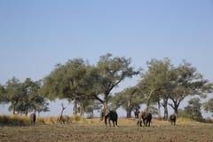 Τοπίο ελεφάντων Στοκ Εικόνες