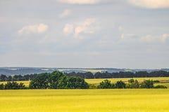 Τοπίο θερινής επαρχίας με έναν πράσινο νέο τομέα σίτου Τομείς δημητριακών στοκ εικόνες