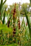 Τοπίο θερινού καλοκαιριού, κάλαμοι ένα συνεχές μέρος της χλωρίδας ποταμών Στοκ Φωτογραφίες
