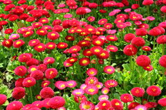 Τοπίο λιμνών Yangcheng Suzhou, λουλούδι canola, Στοκ φωτογραφίες με δικαίωμα ελεύθερης χρήσης