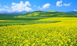 Τοπίο λουλουδιών της Κίνας Qinghai Στοκ Εικόνες
