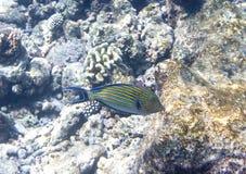τοπίο Μαλβίδες ψαριών κοραλλιών υποβρύχιες meno νησιών της Ινδονησίας gili lombok κοντά στον υποβρύχιο κόσμο χελωνών θάλασσας Στοκ Φωτογραφία