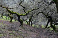 Τοπίο με τα δέντρα βαλανιδιών ακροποταμιών που κλαδεύονται Στοκ Φωτογραφία
