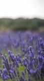 Τοπίο με την άνθηση των λουλουδιών lavander στον τομέα για το κάθετο έμβλημα Στοκ Φωτογραφίες