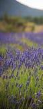 Τοπίο με την άνθηση των λουλουδιών lavander στον τομέα για το κάθετο έμβλημα Στοκ εικόνα με δικαίωμα ελεύθερης χρήσης