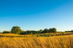 Τοπίο με την κίτρινη χλόη και νέο πράσινο δρύινο δέντρο ενάντια Στοκ Εικόνες