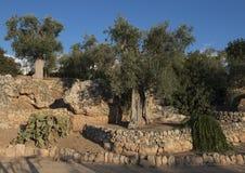 Τοπίο με τις ελιές, τους τοίχους Masseria Torre Coccaro κάκτων και πετρών Στοκ φωτογραφίες με δικαίωμα ελεύθερης χρήσης