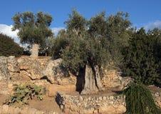 Τοπίο με τις ελιές, τους τοίχους Masseria Torre Coccaro κάκτων και πετρών Στοκ εικόνα με δικαίωμα ελεύθερης χρήσης