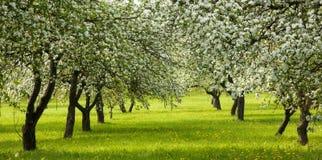 Τοπίο με τον ανθίζοντας κήπο της Apple την άνοιξη Στοκ Εικόνες