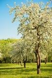 Τοπίο με τον ανθίζοντας κήπο της Apple την άνοιξη Στοκ Φωτογραφίες