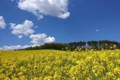 Τοπίο με τον κίτρινο τομέα canola Στοκ Εικόνα