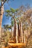 Τοπίο με το δέντρο αδανσωνιών grandidieri Adansonia στο εθνικό πάρκο Reniala, Toliara, Μαδαγασκάρη στοκ φωτογραφία με δικαίωμα ελεύθερης χρήσης