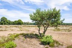 Τοπίο με το δέντρο πεύκων Στοκ Εικόνα
