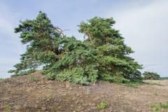 Τοπίο με το δέντρο πεύκων Στοκ Εικόνες