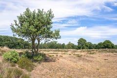 Τοπίο με το δέντρο πεύκων Στοκ εικόνες με δικαίωμα ελεύθερης χρήσης