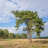Τοπίο με το δέντρο πεύκων Στοκ φωτογραφίες με δικαίωμα ελεύθερης χρήσης
