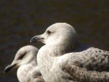 Τοπίο με το beautifu bigl δύο seagulls κοντά σε λίγη λίμνη Ανασκόπηση με τα πουλιά Στοκ Εικόνα