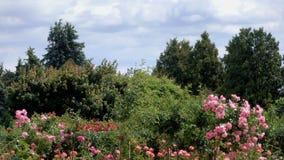 Τοπίο πάρκων με την άνθιση ροδαλών θάμνων απόθεμα βίντεο