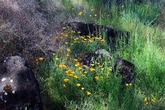 Τοπίο παπαρουνών Καλιφόρνιας στοκ εικόνες