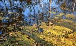 Τοπίο πρώιμο φθινόπωρο Κίτρινα φύλλα φθινοπώρου που επιπλέουν σε μια λίμνη που σφίγγεται με duckweed Το νερό απεικονίζει Στοκ εικόνες με δικαίωμα ελεύθερης χρήσης
