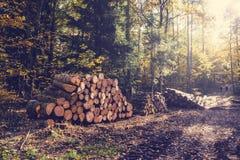 Τοπίο πτώσης με το θερμό φως του ήλιου και ήλιος στα χρυσά δέντρα και woodpile στο σωρό στο δάσος Στοκ Φωτογραφία