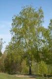 τοπίο σημύδων Στοκ Εικόνα