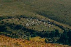 Τοπίο στα βουνά φθινοπώρου με το κοπάδι sheeps μακριά Βουνό Carphatian στοκ φωτογραφίες