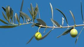Τοπίο της Ελλάδας - ελιά της Ελλάδας φιλμ μικρού μήκους