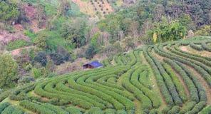 Τοπίο της φυτείας 2000 τσαγιού στο ANG Khang Doi Στοκ φωτογραφία με δικαίωμα ελεύθερης χρήσης