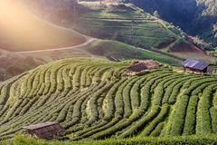 Τοπίο της φυτείας 2000 τσαγιού στο ANG Khang Doi Στοκ εικόνα με δικαίωμα ελεύθερης χρήσης