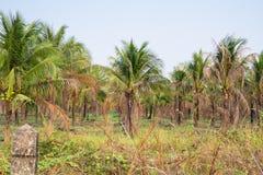 τοπίο της φυτείας φοινικών καρύδων στην τροπική χώρα στοκ φωτογραφία