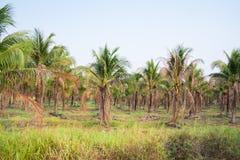 τοπίο της φυτείας φοινικών καρύδων στην τροπική χώρα στοκ φωτογραφίες με δικαίωμα ελεύθερης χρήσης