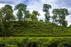 Τοπίο τομέων θερέτρου τσαγιού σε Moulovibazar, Μπανγκλαντές Στοκ Εικόνες