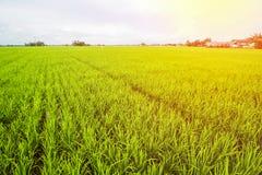 Τοπίο τομέων ρυζιού, τοπίο τομέων ορυζώνα στοκ φωτογραφίες