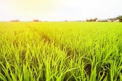 Τοπίο τομέων ρυζιού, τοπίο τομέων ορυζώνα στοκ εικόνες με δικαίωμα ελεύθερης χρήσης
