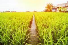 Τοπίο τομέων ρυζιού, τοπίο τομέων ορυζώνα στοκ εικόνες