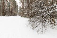 Τοπίο του δάσους χειμερινών πεύκων που καλύπτεται με τον παγετό κυρίως clo Στοκ Εικόνα
