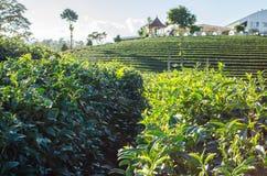 Τοπίο του αγροκτήματος τσαγιού Στοκ φωτογραφία με δικαίωμα ελεύθερης χρήσης
