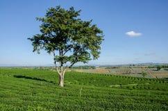 Τοπίο του απομονωμένου δέντρου στο αγρόκτημα τσαγιού Στοκ Εικόνες