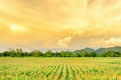 Τοπίο του τομέα καλαμποκιού και του ευρέος αγροκτήματος καλαμποκιού με το ηλιοβασίλεμα στο αγρόκτημα Στοκ Εικόνες