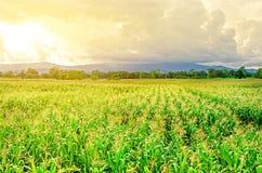 Τοπίο του τομέα καλαμποκιού και του ευρέος αγροκτήματος καλαμποκιού με το ηλιοβασίλεμα στο αγρόκτημα Στοκ εικόνα με δικαίωμα ελεύθερης χρήσης